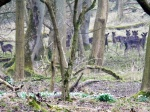 Deer and snowdrops in the woods