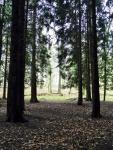 Dense cedar woods